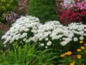 złocień Snow Lady - leucanthemum nanus Snow Lady