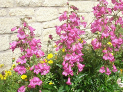 penstemon Carillo Rose - penstemon x mexicali Carillo Rose