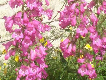 penstemon Carillo Rose - penstemon x mexicali Carillo Rose