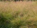 sporobolus różnołuskowy - Sporobolus heterolepis