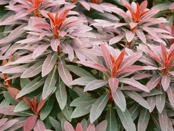 wilczomlecz Ascot Rainbow - Euphorbia x martinii Ascot Rainbow