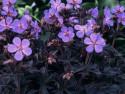 bodziszek korzeniasty Czakor - Geranium macrorrhizum Czakor