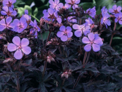 bodziszek Black Beauty - Geranium pratense Black Beauty