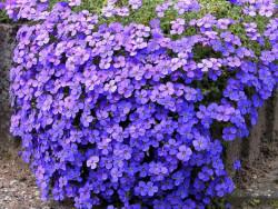 żagwin ogrodowy Audrey Blue Shades - aubrieta x cultorum Audrey Blue Shades