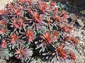 wilczomlecz migdałolistny Walberton's Ruby Glow - Euphorbia amygdaloides Walberton's Ruby Glow