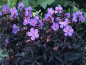 bodziszek Black Beauty - Geranium pratense Black Beauty