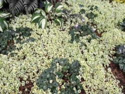 "cymbalaria murowa - cymbalaria muralis ""Snow Wave"""