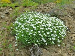 piaskowiec górski -  Arenaria montana Blizzard