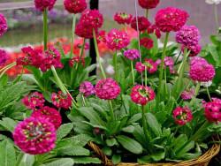 pierwiosnek ząbkowany - Primula denticulata Rubin Selection