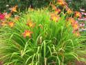 liliowiec Red Magic - Hemerocallis hybrida Red Magic