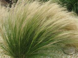 ostnica mocna Pony Tails - Stipa tenuissima Pony Tails