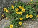 pięciornik klinolistny - potentilla cuneata