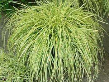 turzyca Maxigold - Carex oschimensis Maxigold