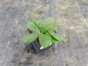 rozchodnik Purple Emperor - sedum telephium Purple Emperor