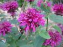 pysznogłówka Bee True - monarda Bee True