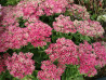 rozchodnik Hot Stuff - sedum Hot Stuff