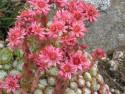 rojnik pajęczynowaty 3 - sempervivum arachnoideum