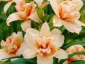 liliowiec Stella de Oro - Hemerocallis hybrida Stella de Oro