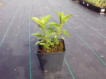 Hortensja bukietowa Magical Sweet Summer - Hydrangea paniculata Magical Sweet Summer