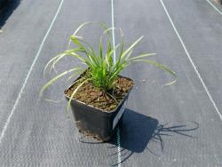 trzcinnik krótkowłosy - Calamagrostis brachytricha