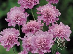 driakiew Pink Diamonds - Scabiosa japonica var. alpina Pink Diamonds