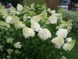 Hortensja bukietowa Magical Sweet Summer - Hydrangea paniculata Magical Sweet Summer