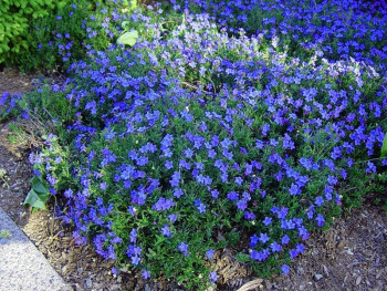 nawrot Grace Ward - Lithodora diffusa Grace Ward