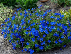 nawrot Grace Ward - Lithodora diffusa Grace Ward