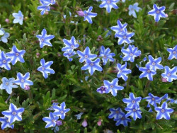 nawrot Star - Lithodora diffusa Star