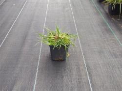 rozplenica Little Bunny - Pennisetum alopecuroides Little Bunny