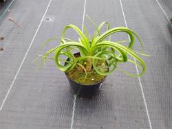 trytoma Limelight - kniphofia uvaria Limelight