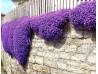 żagwin ogrodowy Audrey Purple Shades - aubrieta x cultorum Audrey Purple Shades