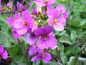 gęsiówka kaukaska Little Treasure Deep Rose - arabis caucasica Little Treasure Deep Rose