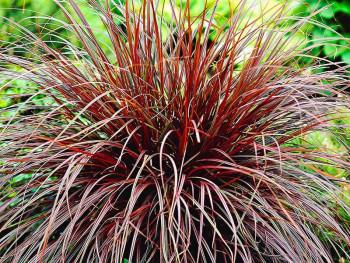 uncinia rubra-uncinia czerwona
