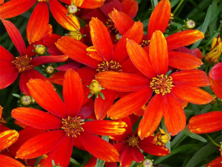 nachyłek czerwony Ladybird - Coreopsis Ladybird