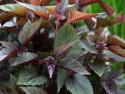 sadziec Chocolate - Eupatorium rugosum Chocolate