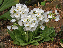 pierwiosnek biały Alba - Primula denticulata Alba