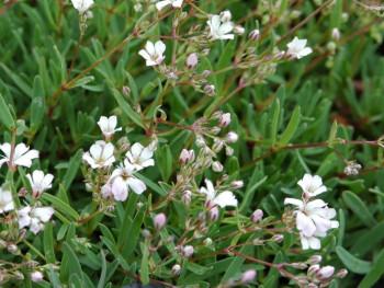 Gipsówka biała, łyszczec - gypsophila repens