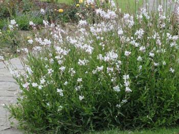 gaura biała Whirling Butterflies - Gaura lindheimeri whirling butterflies