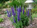 przetacznik First Glory - Veronica longifolia First Glory