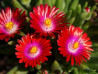 delosperma Jewel of Desert Garnet