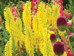 trytoma Lemon Popsicle - kniphofia Lemon Popsicle