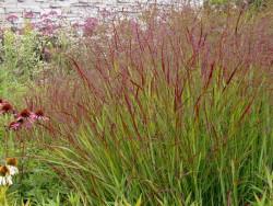 proso rózgowe Shanandoah - panicum virgatum Shenandoah