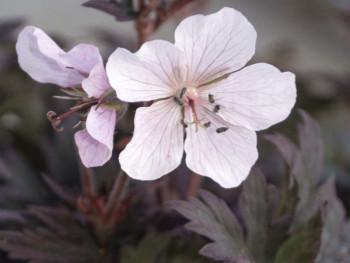 bodziszek Purple Ghost - Geranium pratense Purple Ghost