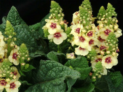 dziewanna Dark Eyes - verbascum Dark Eyes