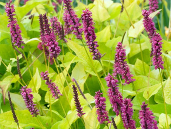 rdest Golden Arrow - persicaria amplexicaulis Golden Arrow