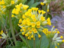 pierwiosnek lekarski Cabrillo Yellow - primula veris Cabrillo Yellow