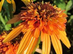 jeżówka Marmalade - echinacea Marmalade