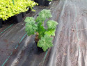 bodziszek kantabryjski Biokovo - Geranium x cantabrigense Biokovo
