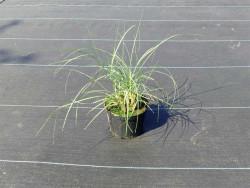 miskant chiński Adagio - miscanthus sinensis Adagio